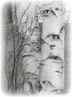PCP-EyeBirch tree.jpg
